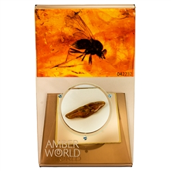 "Trapped in amber approximately 50 million years ago this is a fine example of a spider from ages ago.  This very fine piece was found in Lithuanuia, weighs 9.3 grams, measures 1.5"" x .75"" and is mounted on an acrylic display with magnifying glass."